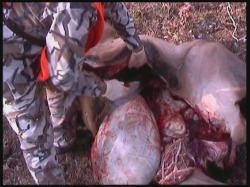 Gutting Elk