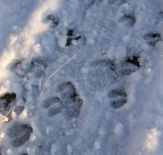 Cow Elk Tracks in Snow