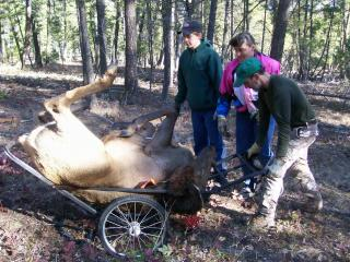 Packing elk meat on a game cart