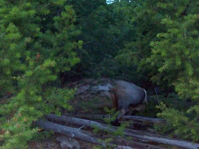 Risky Place to Field Dress an Elk