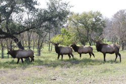 Bachelor Herd of Elk